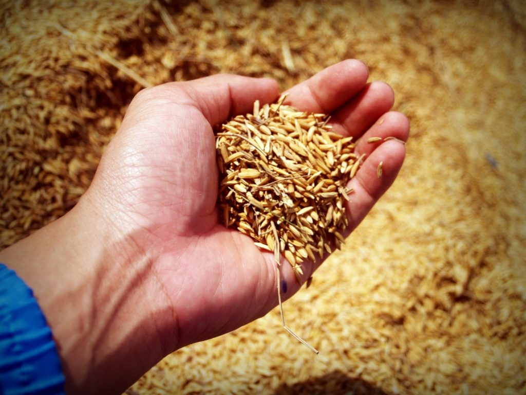 wheat held in the palm of a hand